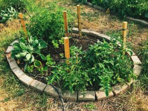 Plants encircled with bricks to help keep out weeds in the garden.