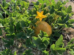 A pumpkin and a pumpkin flower on the vine with leaves.
