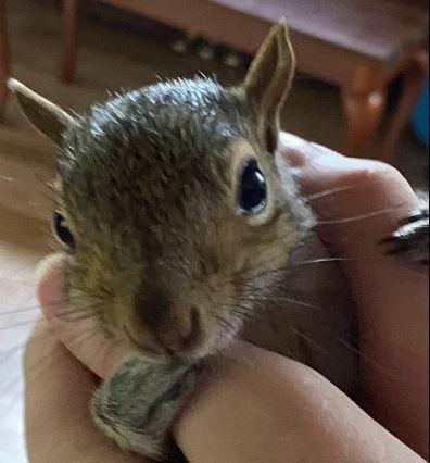 Aarin's squirrel